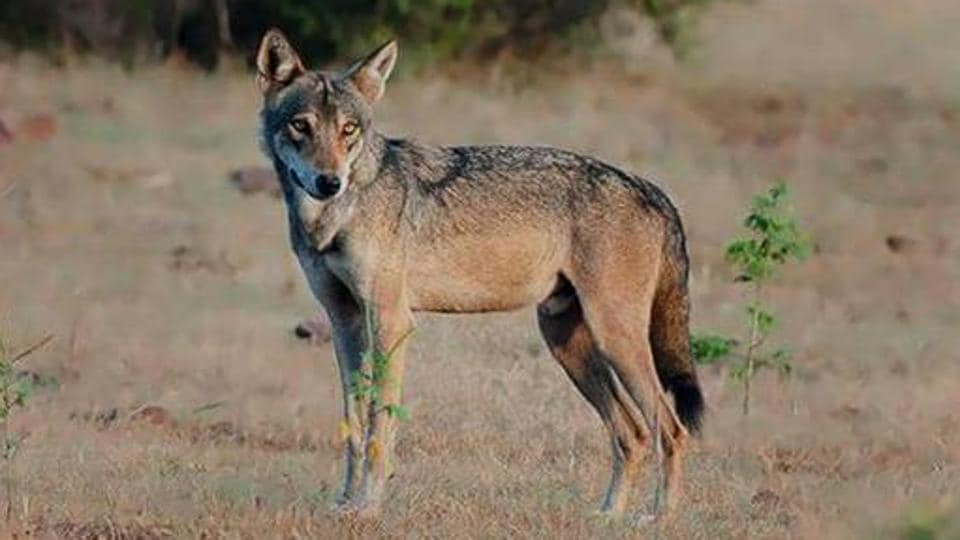 Figures obtained from the forest department show that the wolf population in Rajasthan has come from 924 in 2011 to 892 in 2016.