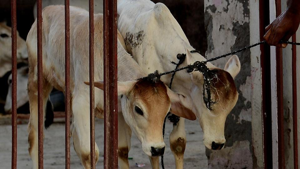 A caretaker guides calves through the door at a cow shelter in New Delhi on April 25, 2017.