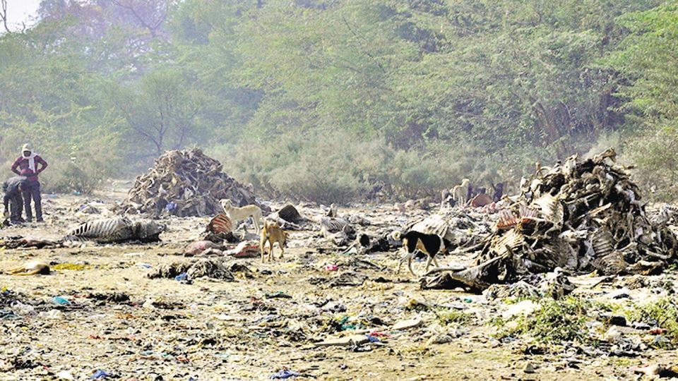 Cattle carcasses dumped near Bharatpur's Keoladeo National Park, a world heritage site, in Rajasthan.