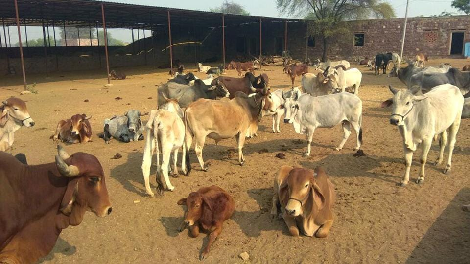 Police have registered 65 cases against cow smugglers in 2015 in Bharatpur district, 71 in 2016 and 51 till October 2017.