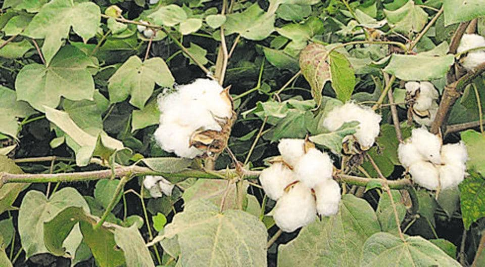Aurangabad has been the worst-hit, with farmers losing cotton crop planted on 4.81 lakh hectares.