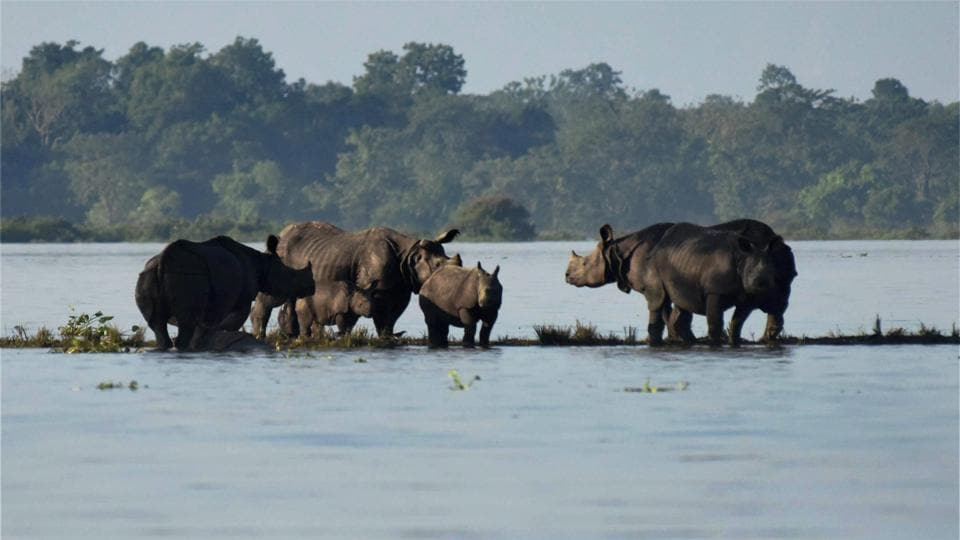 Rhinos with their calves standing on an elevated land in the flooded Kaziranga National Park in Assam.