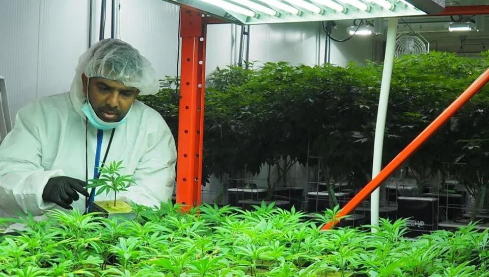Canada,medical marijuana,cannabis