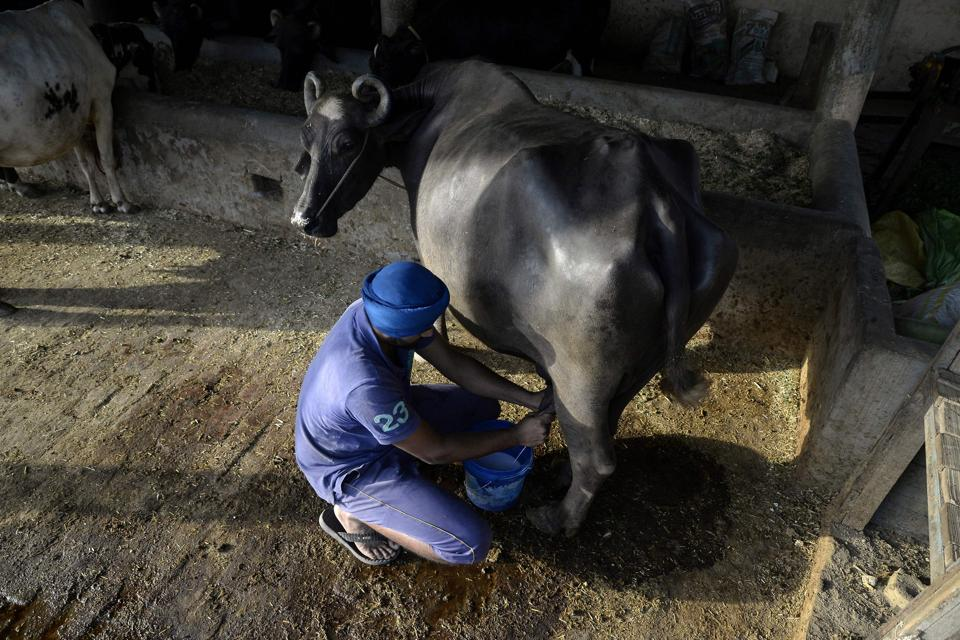 A farmer milking a cow at a farm on the outskirts of Jalandhar.