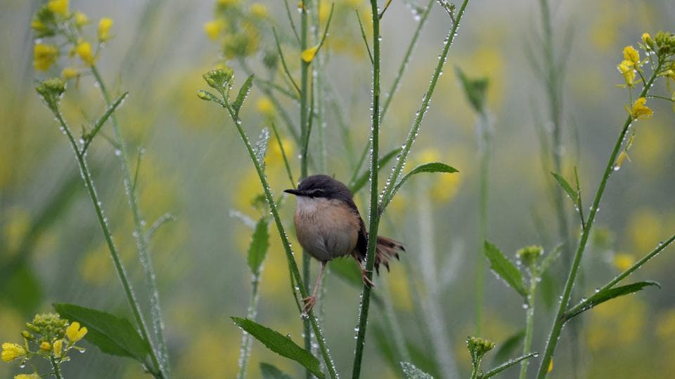 A sparrow rests on mustard plant drenched with dew drops on the out skirts of Jalandhar on Tuesday.  (Pardeep Pandit/HT )
