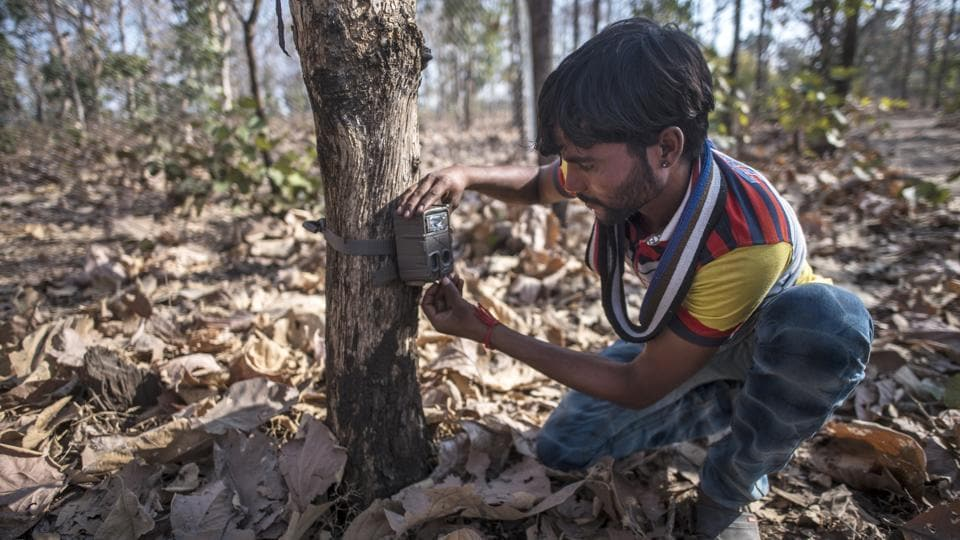 A member of the forest department team checks a camera trap inside the forest. More than 60 such traps have been laid out and a Hyderabad-based hunter was also called in to assist the department with his tranquilliser darts. But the tigress has constantly adapted and never revisits a kill zone, hiding out in gorges covered in bracken so thick that even trackers cannot follow. (Pratik Chorge / HT Photo)