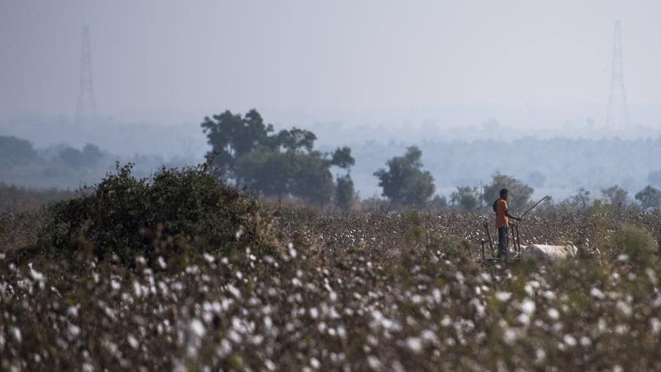A man works in the cotton field at Bandar village. The department though has considered applying for permission to have the tigress shot. The thick vegetation and post-monsoon cotton crop however, makes visibility very poor making it difficult under current conditions. (Pratik Chorge / HT Photo)