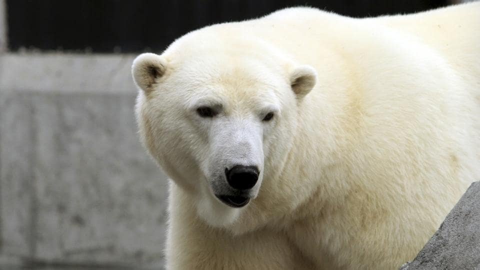 In this file photo, Ahpun, a female polar bear, strolls around her cage at a zoo in Anchorage, Alaska.