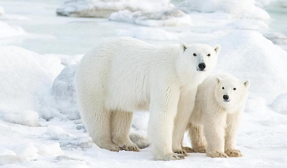 Polar bears are not aggressive, they're intelligent and curious