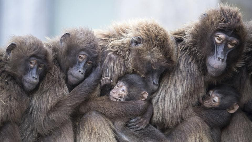Female Gelada baboons, also known as bleeding-heart baboons, cuddle with their young in order to keep warm at the Wilhelma zoo on January 03, 2018 in Stuttgart, Germany. (Sebastian Gollnow / dpa via AP)