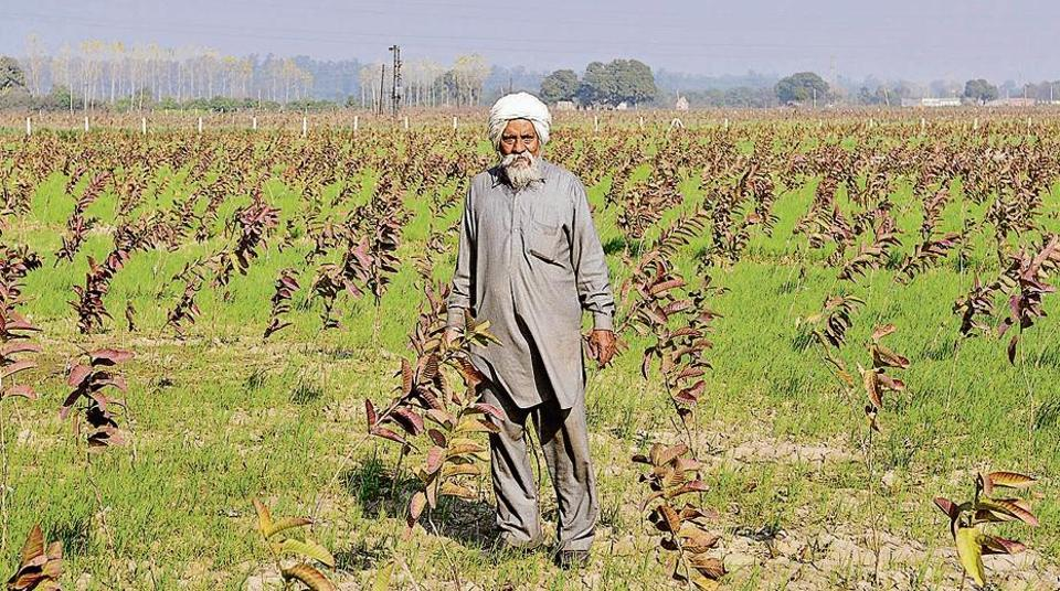 Daya Singh, a farmer at Bakarpur village in Aerocity, in his guava orchard in Mohali on Monday.