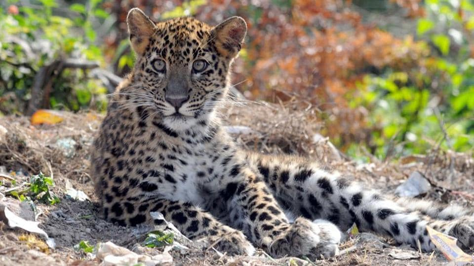 File photo of a leopard .  The animal involved in the attacks on the children in Chhindwara district is said to be a young one.