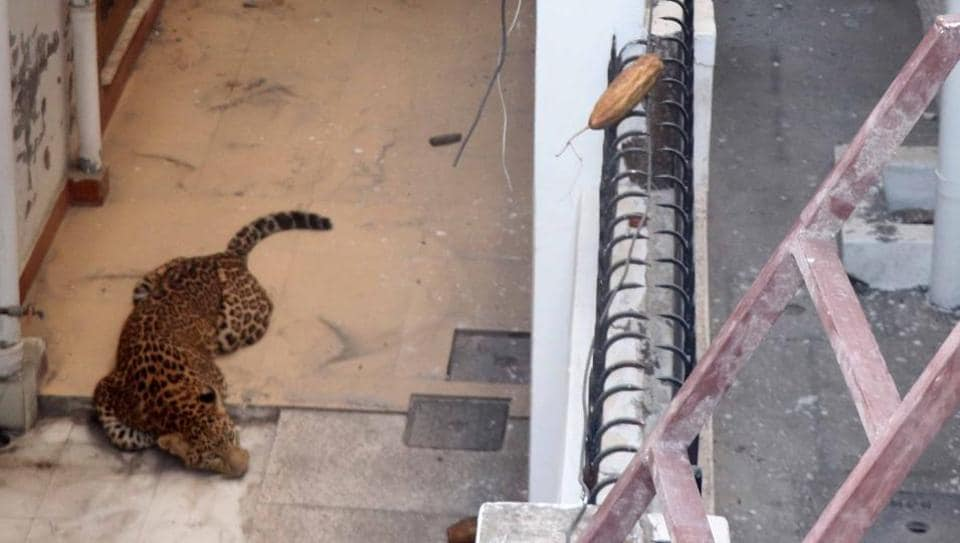 The leopard was caught after it attacked a man at Suman Puri in Raipur area on Wednesday morning. Later, it was shifted to Dehradun Zoo for rehabilitation.