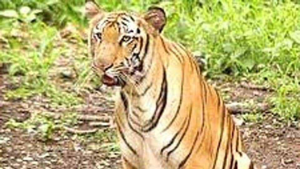 Representational picture. For some time experts suspected there are Royal Bengal tigers in Neora Valley but this was the first time the animal was sighted in the area.