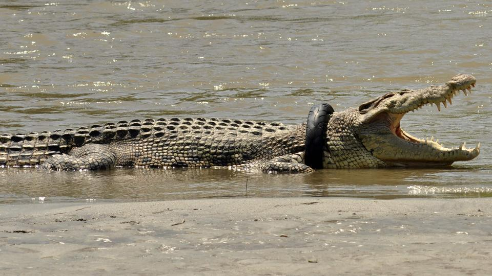 This picture taken on November 4, 2016 shows a saltwater crocodile with a tyre around its neck in the Palu river in Palu, Central Sulawesi.