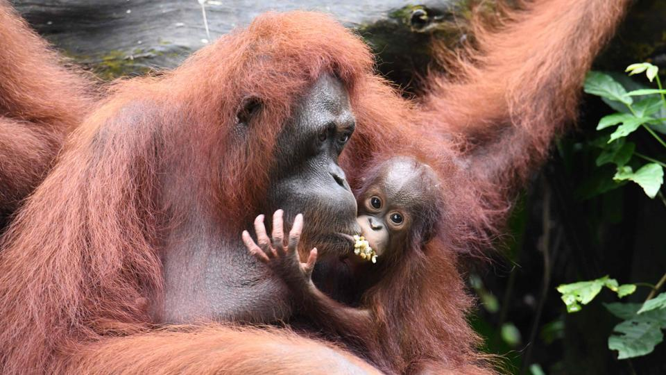 A baby orangutan named Khansa (R) clings on its mother Anita in their enclosure at the Singapore Zoological Garden.