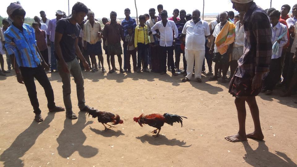 Acockfight near Vijayawada in Krishna district.