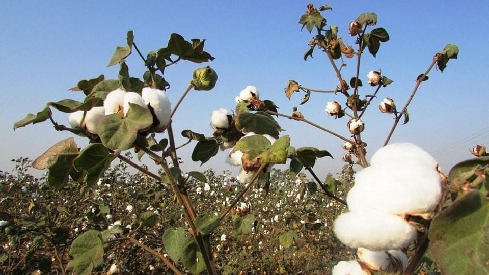 Cotton farmers in Maharashtra were hit by a pink bollworm attack that reportedly affected one crore quintal of cotton.