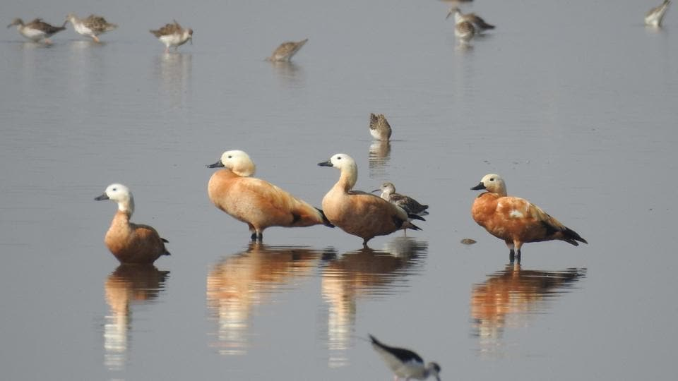 Migratory birds at a wetland in Kota.