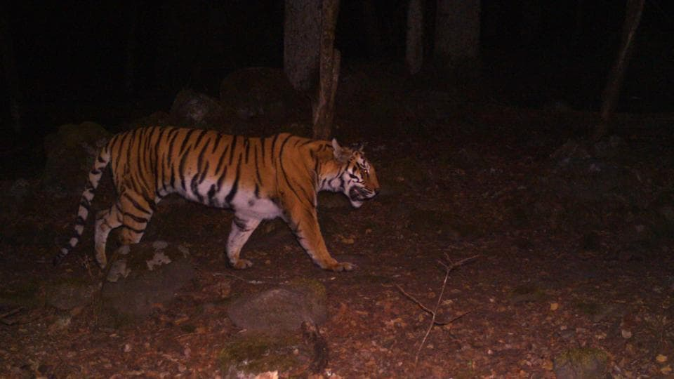 A tiger camera trapped above 12000 ft in Khatling area in Tehri in February 2017. HT Photo