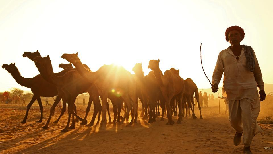 A trader with his camels at the Pushkar Fair.