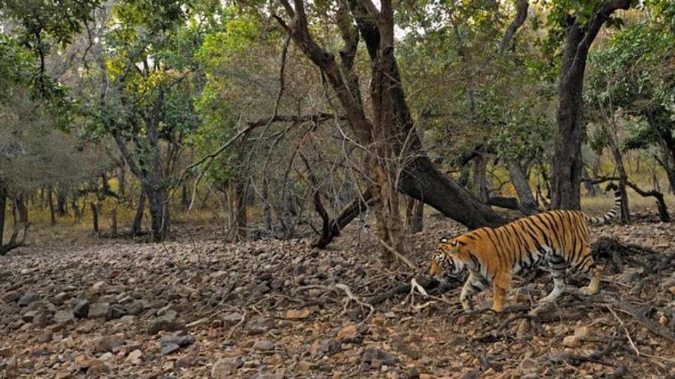 A Ttiger at the Ranthambore reserve.