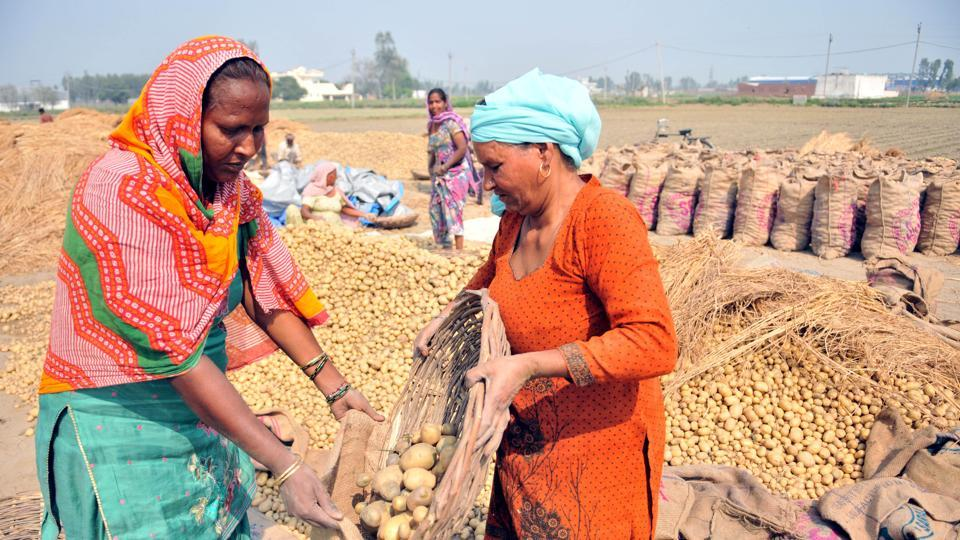 potato growers,Potato glut,potato growers in Punjab