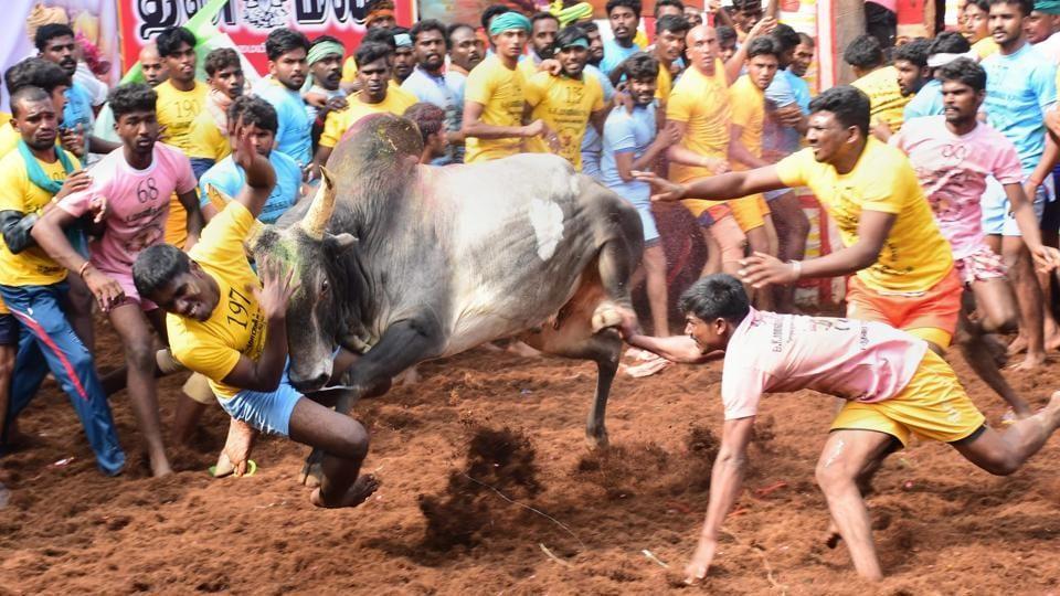Jallikattu,Bull taming,Madurai