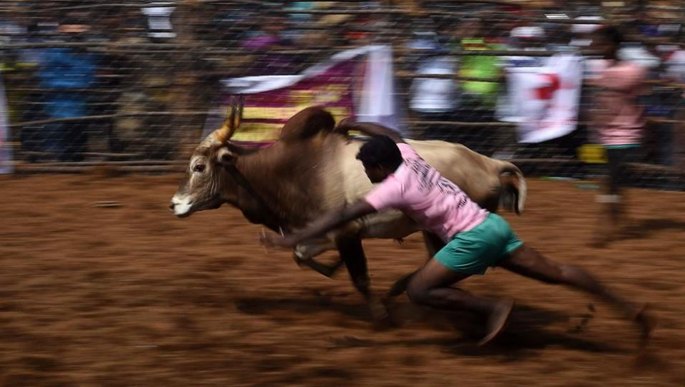 A participant tries to hang on to a bull during the Palamedu Jallikattu near Madurai. Bull-taming events are held for nearly six months every year, kicking off at Pongal in Tamil Nadu. As per the rules, a tamer is awarded a prize if he hangs on to the hump of the animal for a certain period of time. (Arun Sankar / AFP)