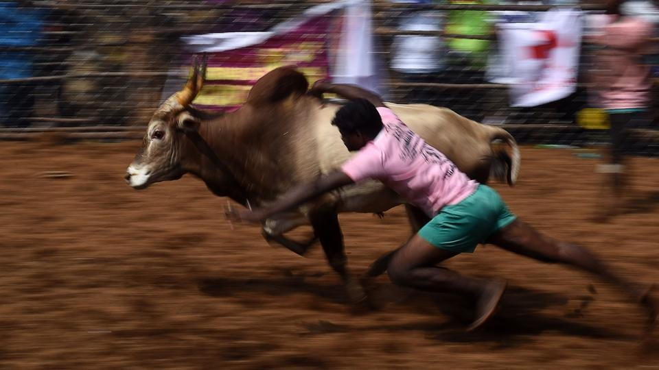 A participant tries to control a bull during an annual bull-taming event 'Jallikattu' in the village of Palamedu on the outskirts of Madurai.