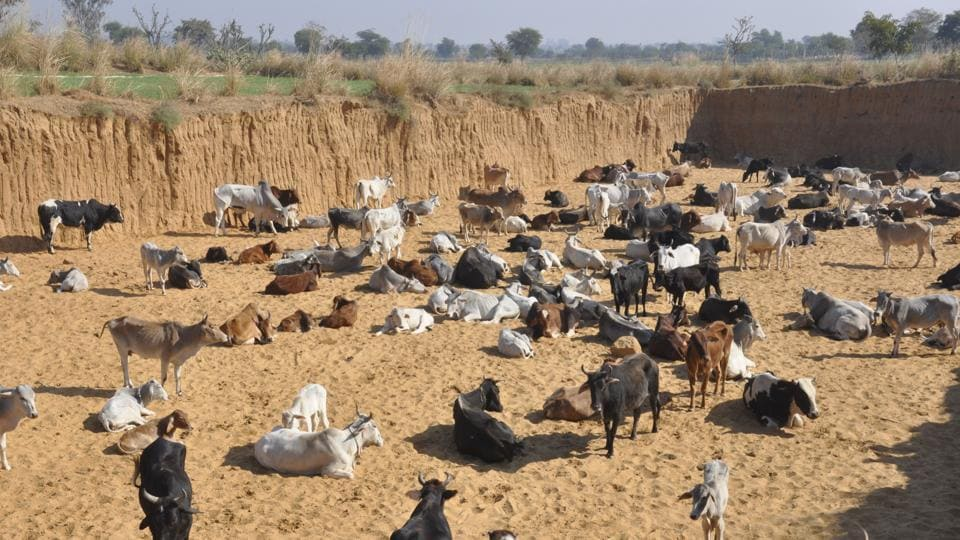 The council members said they will go ahead with plan if government fails to shift the stray bovines into cattle shelters at the earliest.