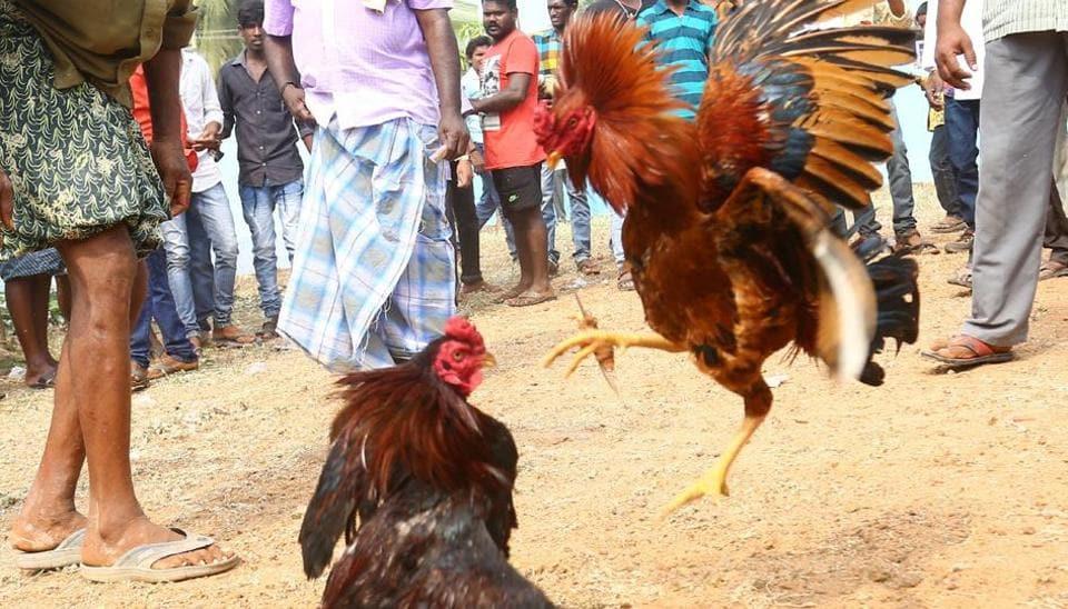 Cockfighting in a village in coastal Andhra Pradesh.