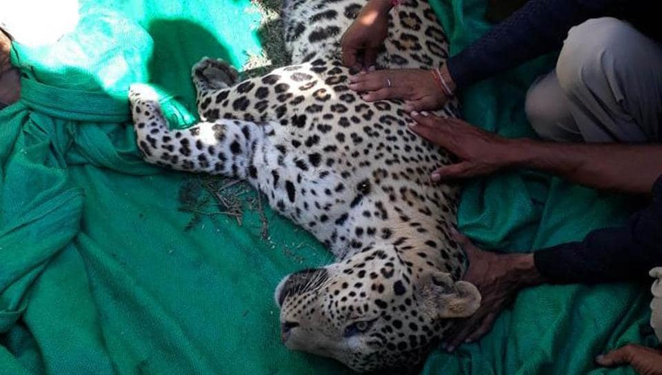 Forest department ​officials ​with the leopard ​which was caught  in Barmer on ​​Wednesday.