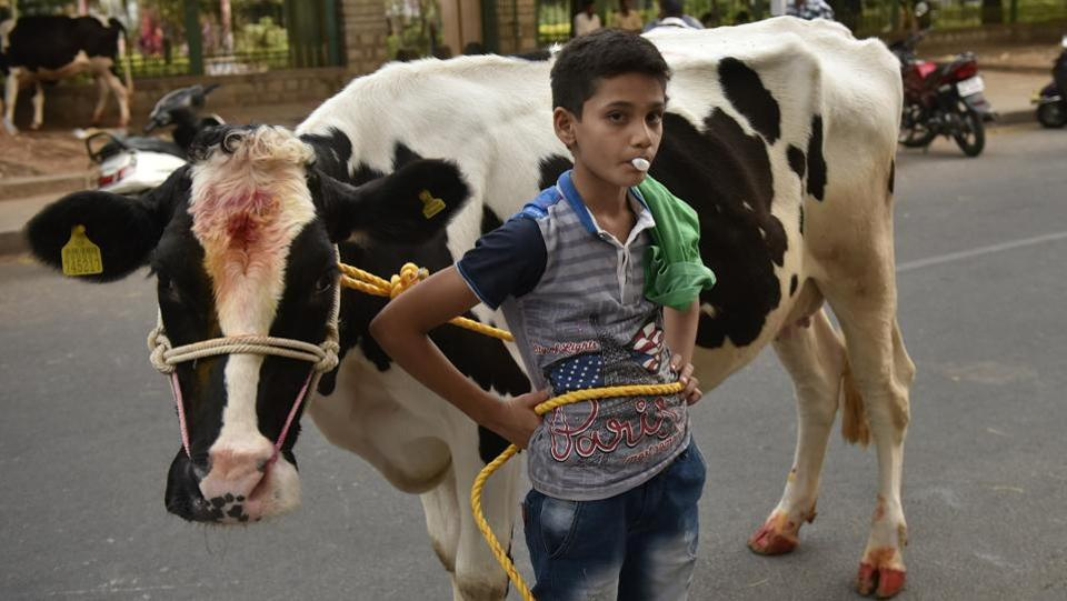 A boy poses with his cow during Kichchu Haisodu celebrations at Kanakanapalya in Bengaluru on January 15, 2018. While earlier predominant in the state's villages, the practice is now also observed around urban centres like Bengaluru, albeit confined to the status of an annual sport. (Arijit Sen / HT Photo)