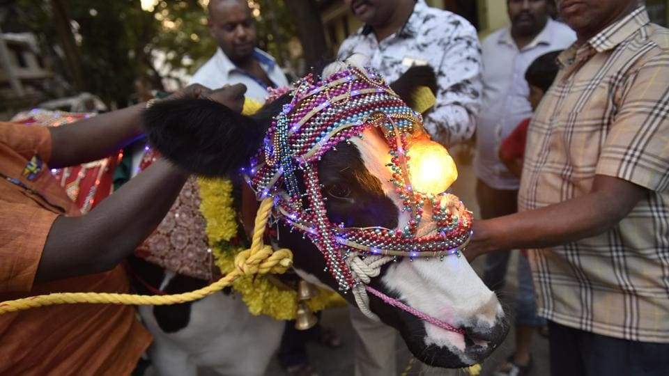 In Kanakanapalya near Jayanagar in Bengaluru, almost 40 cows and bulls were decorated with fanfare by elders. Ribbons, vermillion, garlands and elaborate halters were used to decorate livestock. Some, as pictured above even used lights to make their cattle stand out from the rest. (Arijit Sen / HT Photo)