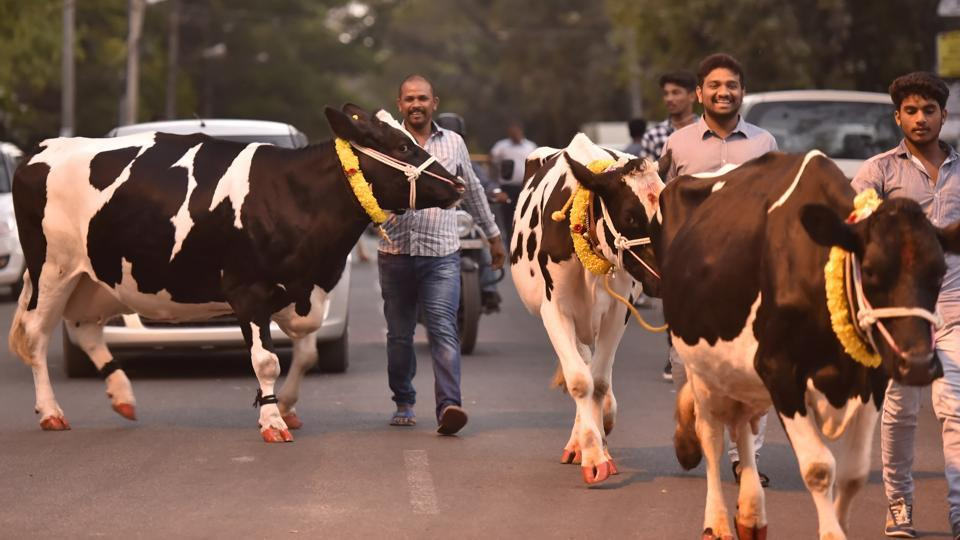 People seen with their cattle out on the streets, garlanded and painted for the  ceremonial prayers and Kichchu Haisodu on the occasion of Sankranti at Kanakanapalya in Bengaluru. (Arijit Sen / HT Photo)