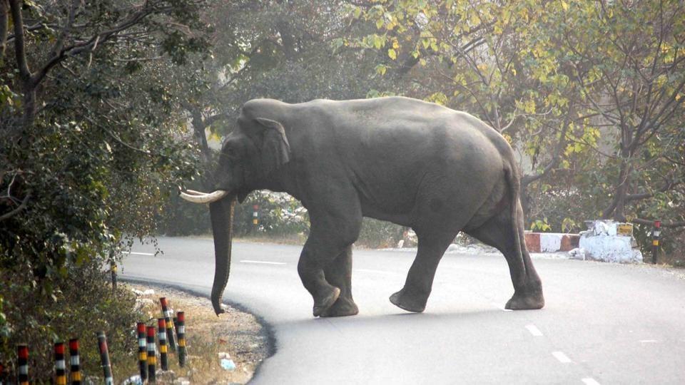 Uttarakhand news,Elephants,Rajaji Tiger Reserve
