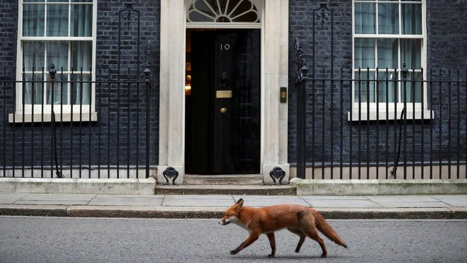 A fox walks past 10 Downing Street in London, Britain on January 16. (Hannah McKay / REUTERS)