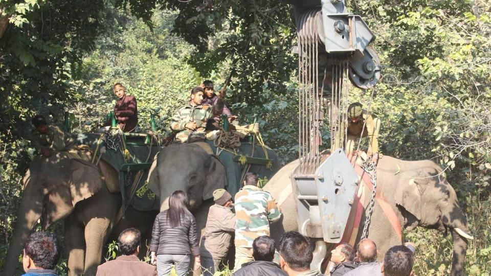 The rogue tusker being lifted with the help of a crane.