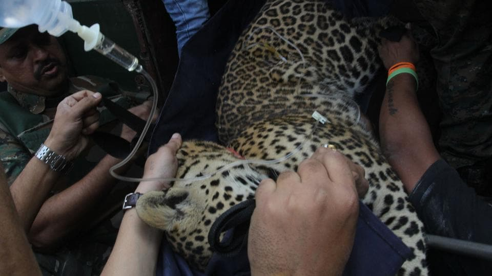 A team of police and forest officials rescue a leopard after tranquillising it in Mulund in Thane.