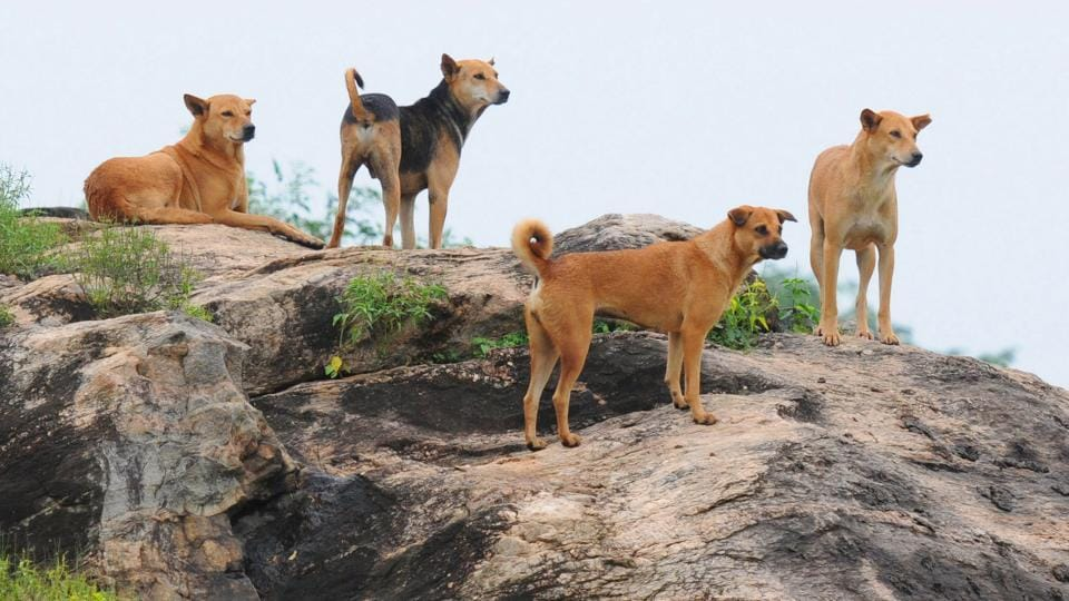 A group of stray dogs taking rest on the rock.