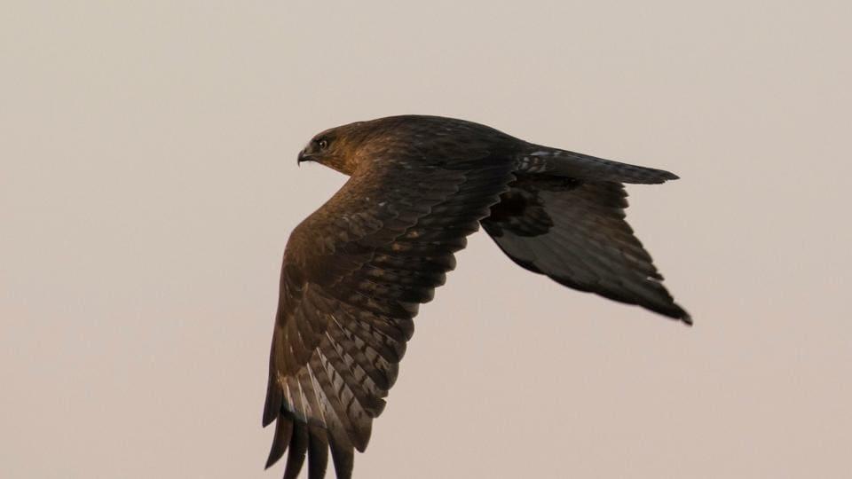 A Common buzzard near Banur in Patiala district.