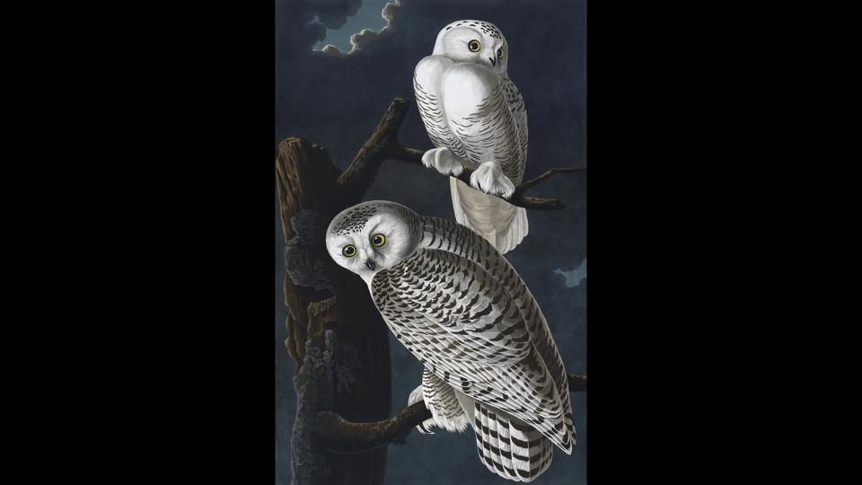 The snowy owl, in John James Audubon's 'The Birds of America,' 1827-38--  a clear inspiration behind Harry Potter's owl, Hedwig.  (British Library Board)