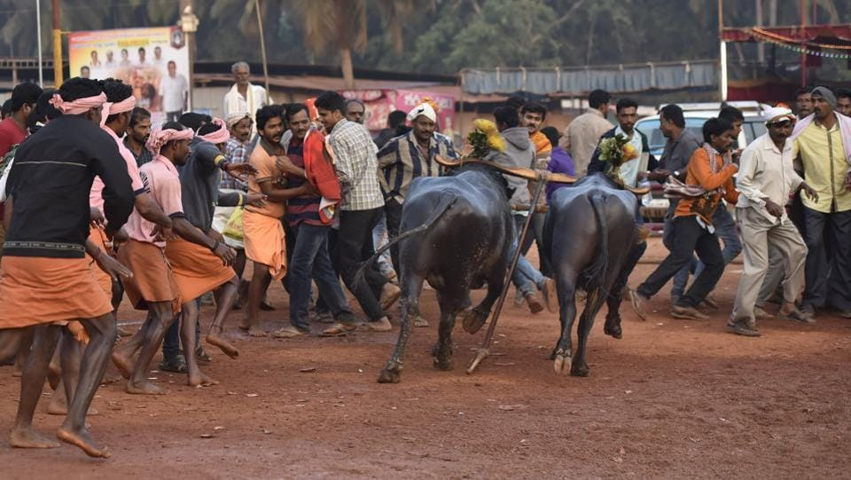 The sport is celebrating its 25th year with 150 pairs of buffaloes in the Puttu arena –one of its most popular destinations. Thousands from surrounding areas gathered to witness the action packed races, which span over 24 hours. Most modern Kambala venues use laser beams to record photo finishes. (Arijit Sen/HT Photo)