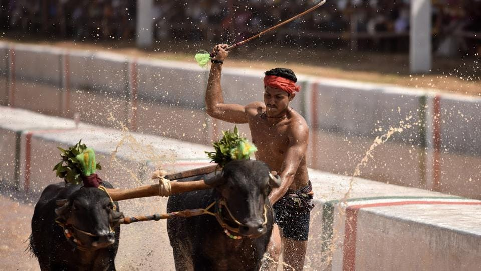 "A jockey whips a pair of buffalo racing towards the finish line in Puttur. People for Ethical Treatment of Animals (PETA), has also stated in  its petition that the animals are subjected to beatings during the race and training period.  ""This investigation proves yet again that buffalo bulls are terrorised in cruel Kambala events – and no amount of regulation can ever change that,"" Nikunj Sharma, PETA's Public Policy Lead said. (Arijit Sen/HT Photo)"