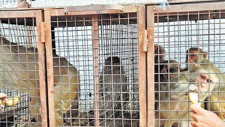According to the agreement between the agency and MCG, the agency is paid Rs1,500 per captured monkey.