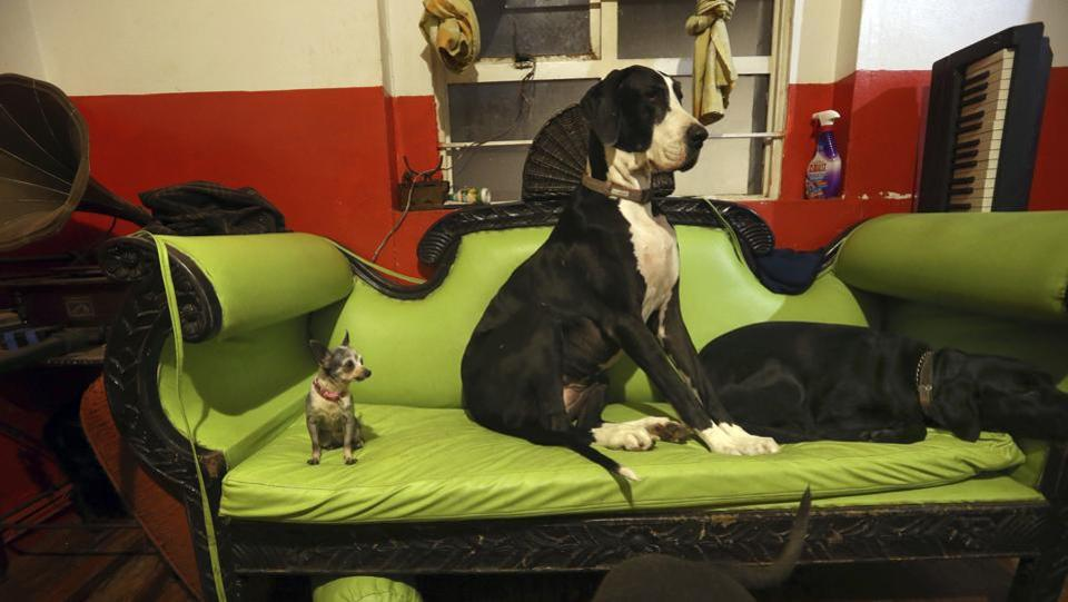 Azucar the Chihuahua, Bimba, the Great Dane, and another pet sit on the family couch at their home. While their home is still damaged, the couple continues to care for their canine charges despite the challenges. (Marco Ugarte / AP )