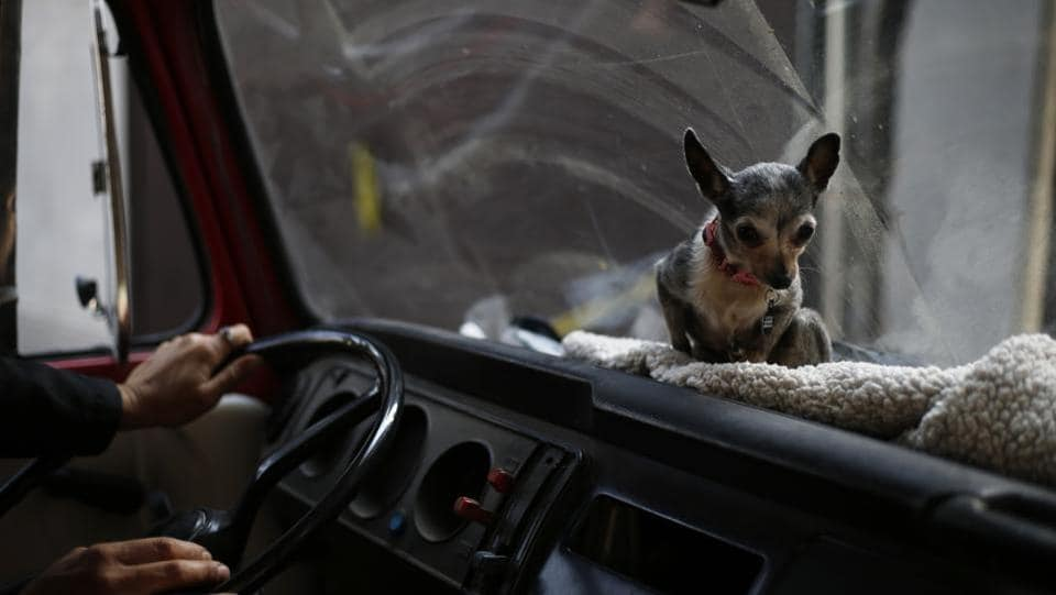Azucar the chihuahua takes her spot aboard the family Volkswagen van before a trip. The whole pack makes quite a sight when they step out to nearby parks for walks in the patched-up old van.  (Marco Ugarte / AP)