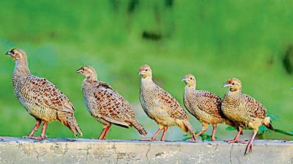 Grey partridges perched on the wall of a vacant plot in the heart of Patiala city.