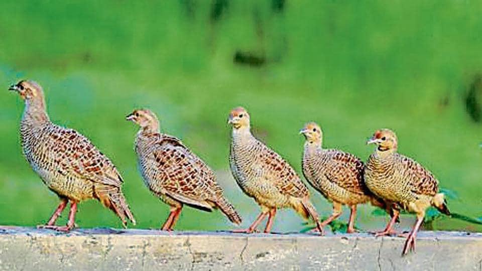 Wild buzz,Patiala pegs,partridge legs